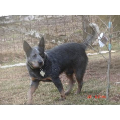 blue heeler puppies for sale in iowa australian cattle blue heeler heeler breeders in iowa freedoglistings