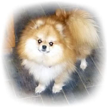 how big do pomeranian dogs get pomeranian color changes