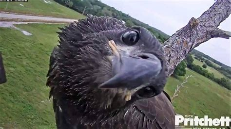 Humm3r Eagle Black With Real Pic southwest florida eagle live feed