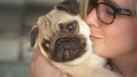 best pugs facts that prove pugs are the best dogs