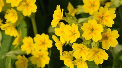 fiori primule fiori eduli l elenco dei fiori commestibili che puoi