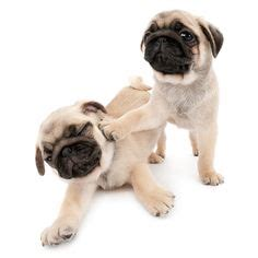 the artlist collection pug animales que adoro on 1210 pins