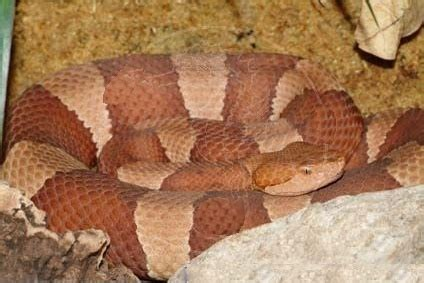 copper colored snake this plump copper colored snake also has a german name