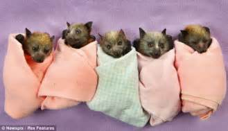 super cute bat orphans that have survived on a wing and a