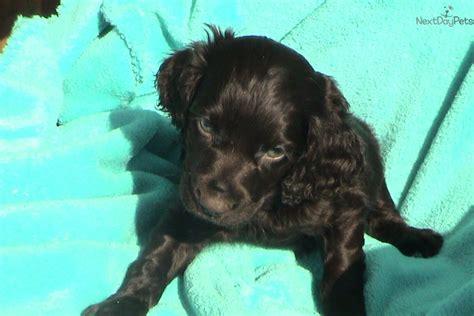 boykin spaniel puppies for sale boykin spaniel puppy for sale near greenville upstate south carolina 1a5efe0b e281