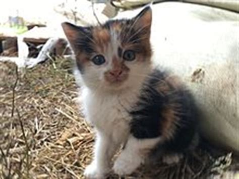 Calico cat   Wikipedia