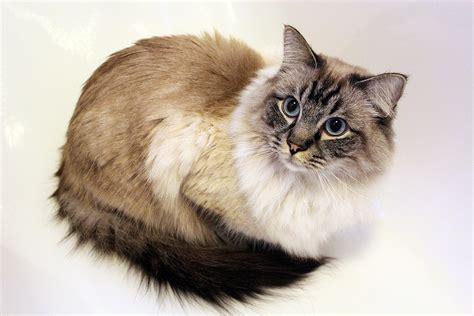 tabby cat wikipedia file ragdoll kater drei jahre alt rag n 21 seal tabby