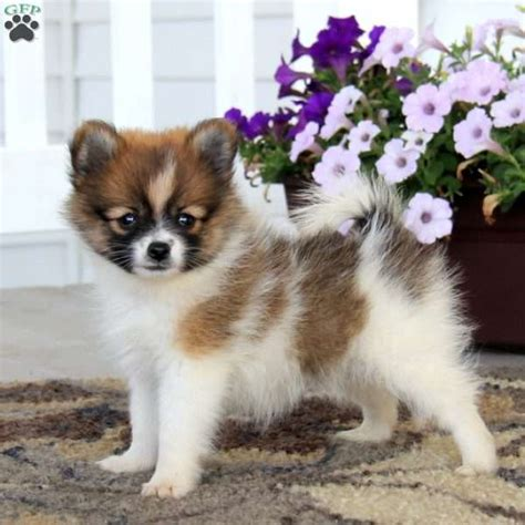 pomeranian pa pomeranian puppy for sale in pennsylvania