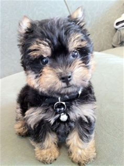 miniature schnauzer yorkie snorkie schnauzer yorkie mix info temperament puppies pictures