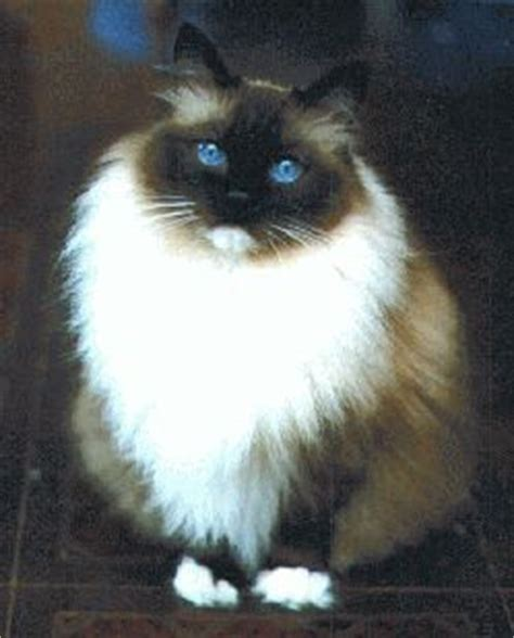 ragdoll 9 lives 261 best ragdoll cats images on cats