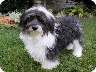 how big havanese dogs get huckleberry adopted newport ca havanese mix