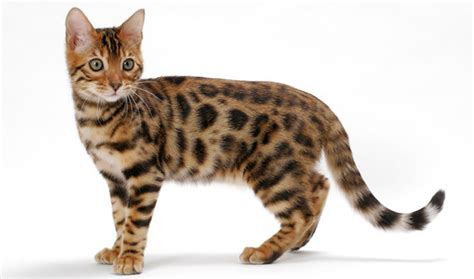 bengal house cat bengal cat breed information