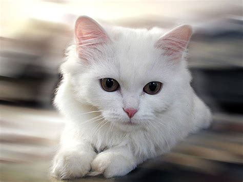 white cat white cat cats picture