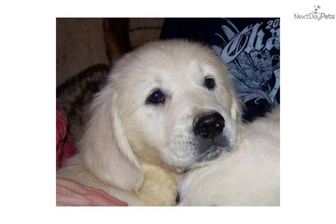 new golden retrievers puppies for sale from cynazar golden retrievers new jersey member since december 2006