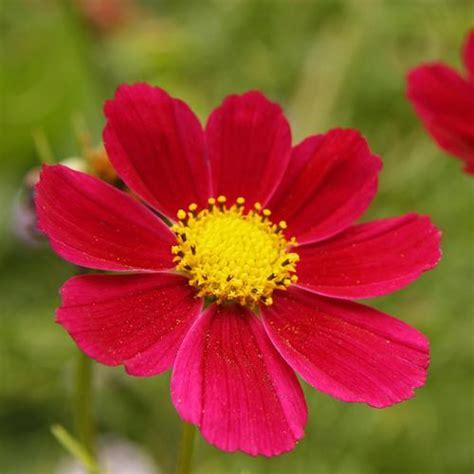 Crocus Plante Vivace Ou Annuelle by Fleur Vivace Liste Ooreka