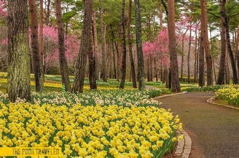 hitachi seaside park early spring blooms in ibaraki japan the poor traveler blog