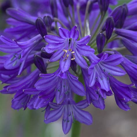 buy african lily agapanthus northern star pbr
