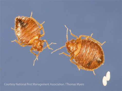 where do bed bugs originate from where do bed bugs come from identify bed bugs info