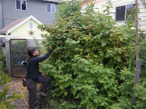 backyard cash crops oregon coast gardener coastal cash crop raspberries