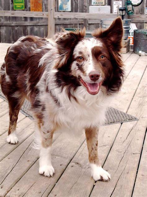 merle puppies 17 best ideas about merle australian shepherd on