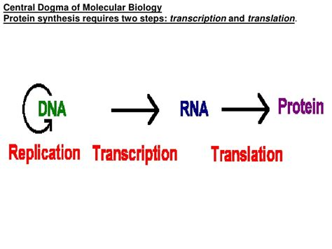 protein biology definition collagen structure distribution synthesis regulation