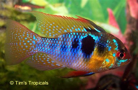most colorful cichlids most colorful freshwater tropical fish www imgkid
