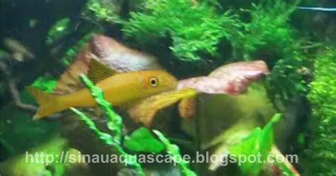 Pembersih Aquarium ikan pembersih lumut dan alga aquascape