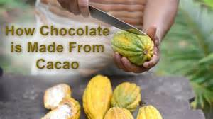 How Is Made Lesson How Chocolate Is Made From Cacao Understory