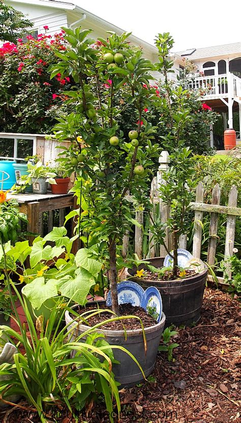 container gardening fruit trees best plants you can grow in containers the