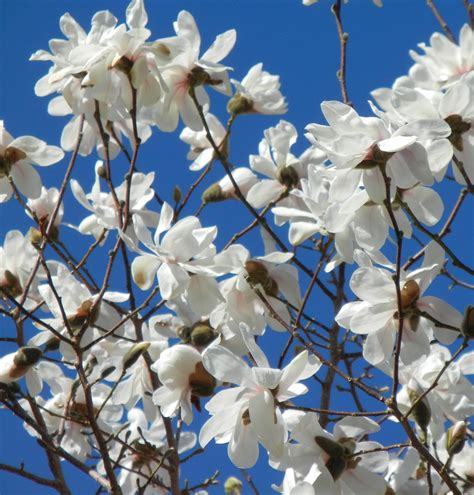 spring  magnolia plant sciences