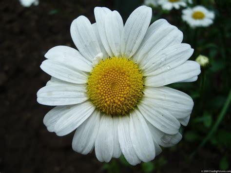 daisies flower daisy petals