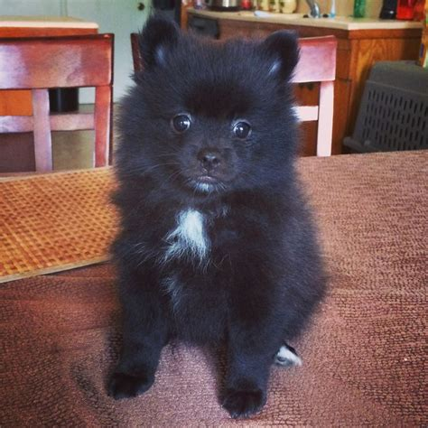 tuxedo pomeranian pin by becky cobos on pomeranian puppies