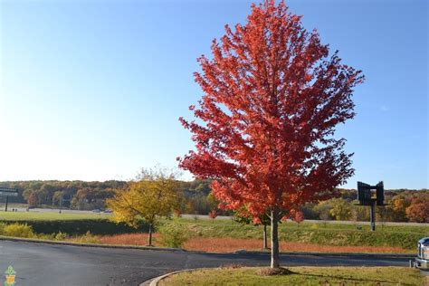 sales on trees autumn blaze maple tree for sale the planting tree