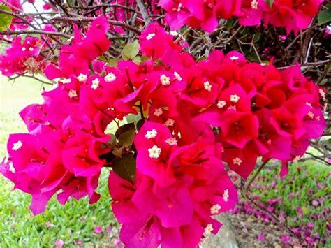 mahu pokok bunga kertas subur  berbunga lebat