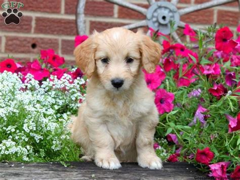 goldendoodle puppy growth 17 best images about i m a fan on f1b