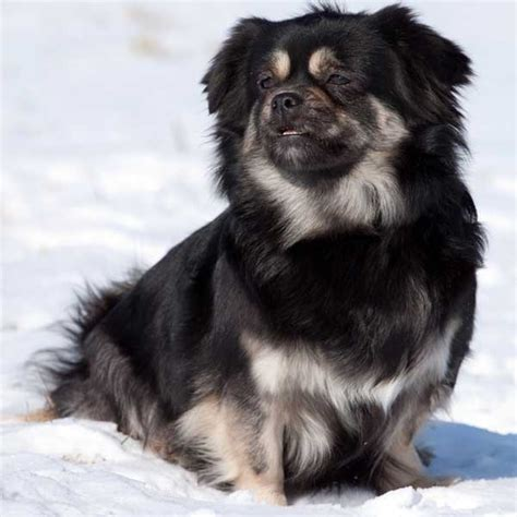 Call China Kitchen by Get To Know The Tibetan Spaniel Little Lion Of Tibet