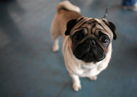 pugs are the best the best instagrams dedicated to pugs