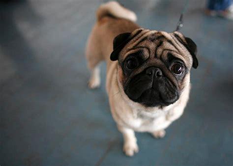 best pugs the best instagrams dedicated to pugs