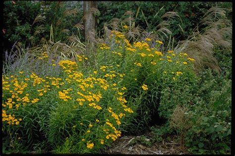 marigolds shade mexican mint marigold botanical name tagetes lucida plant
