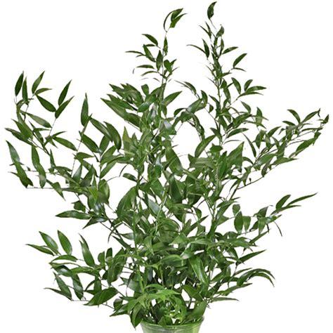 italian ruscus italian ruscus greenery