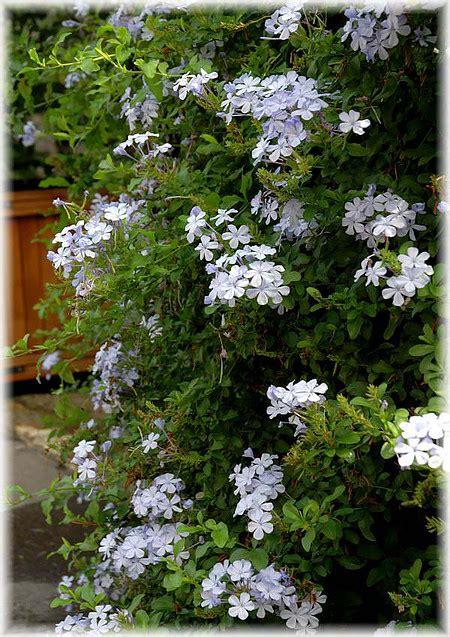 Zimmerpflanze Kaufen 711 by Bleiwurz Plumbago Auriculata G 252 Nstig Kaufen Mein