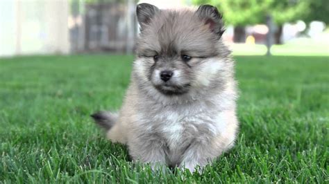 pictures of pomsky puppies images of grown pomsky breeds picture