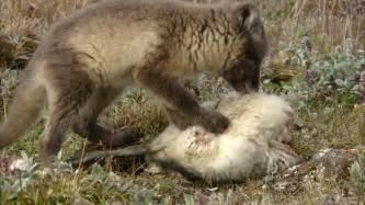 le renard dans l ile renard polaire manger l 238 le wrangel russie hd stock video 779 874 505 framepool