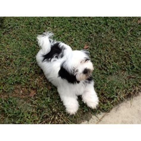 yuppy puppy havanese yuppy puppy havanese havanese breeder in stuart florida