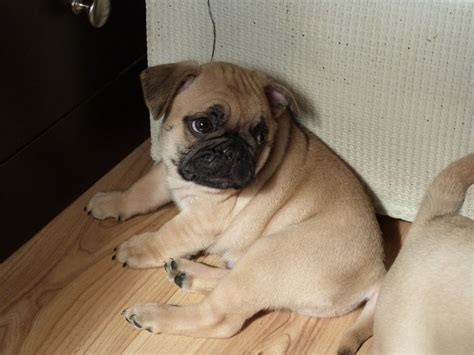 pug x bulldog puppies bulldog pug mix pug bulldoghybrid 点力图库
