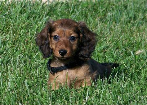 hair daschund puppies dachshund puppies miniature haired dachshunds