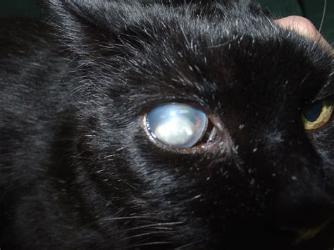 Softlens Cats Eye Soflens Cats Eye my cat has seemed to lost the iris in both his it is horrible his look like