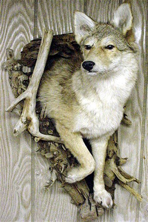 Coyote Rug Mac S Taxidermy Mooseheads For Sale Taxidermy For Sale