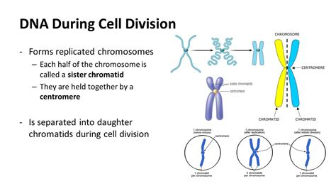 each human chromosome is replicated in about sections section 10 2 pg the process of cell division ppt
