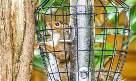 greedy squirrel gets stuck in bird feeder after stealing